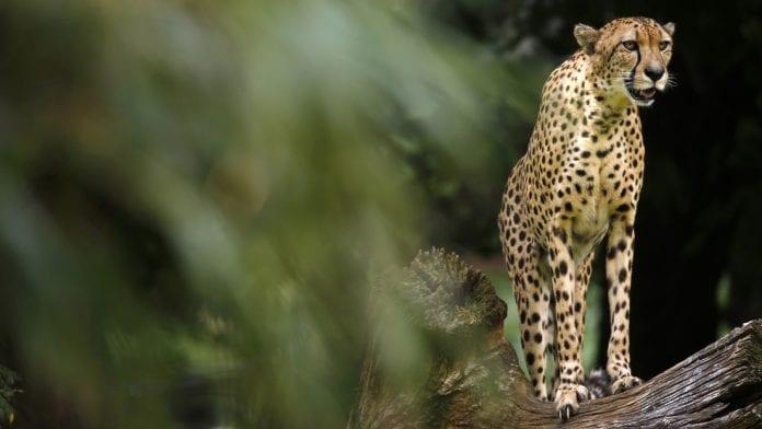 Un guepardo besó a una cría de gacela recién nacida al confundirla con su cachorro, pero se da cuenta del error y se la comió