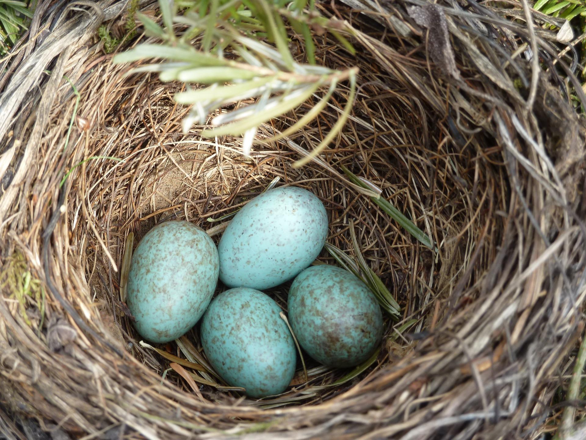 huevos de aves pequeñas