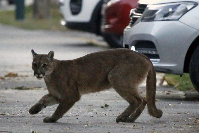 Puma capital de Chile