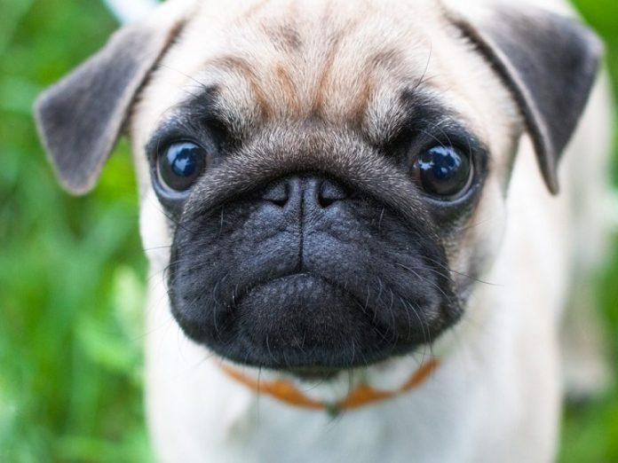 Pug perro coronavirus