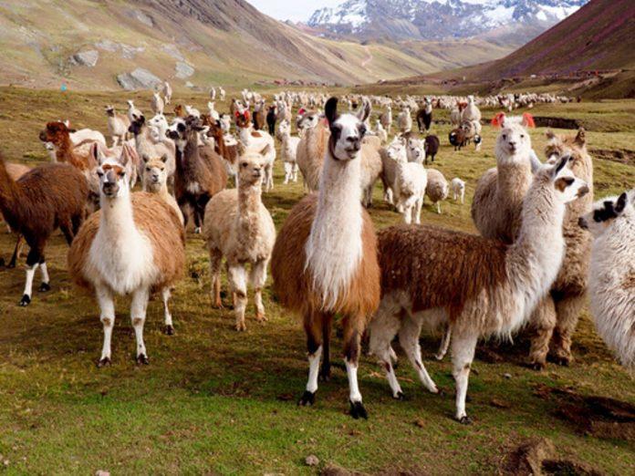 Llamas y alpacas: Científicos advierten que camélidos podrían servir contra covid-19