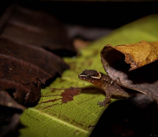 Registran presencia del lagarto más pequeño del mundo en un parque de Colombia