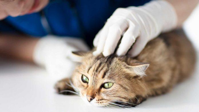 El gato coronavirus