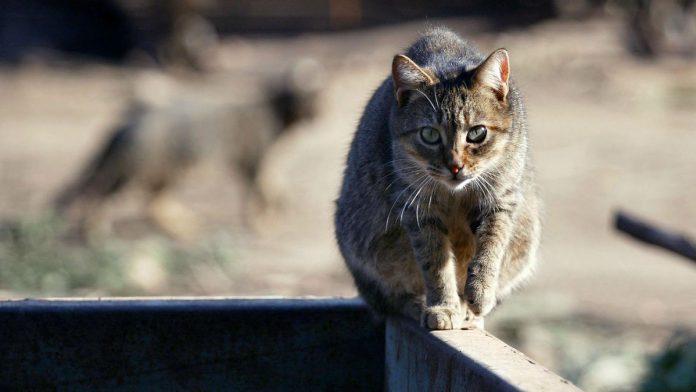 Descubren un peligroso parásito que vive en gatos y ya infectó a un tercio de la humanidad