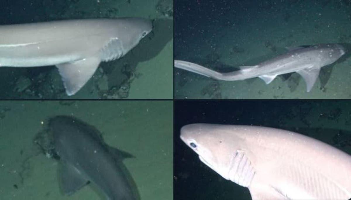 Registran dos especies de tiburones inéditas en aguas profundas de Galápagos