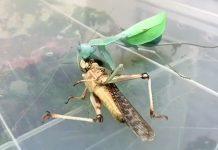 mantis religiosa langosta