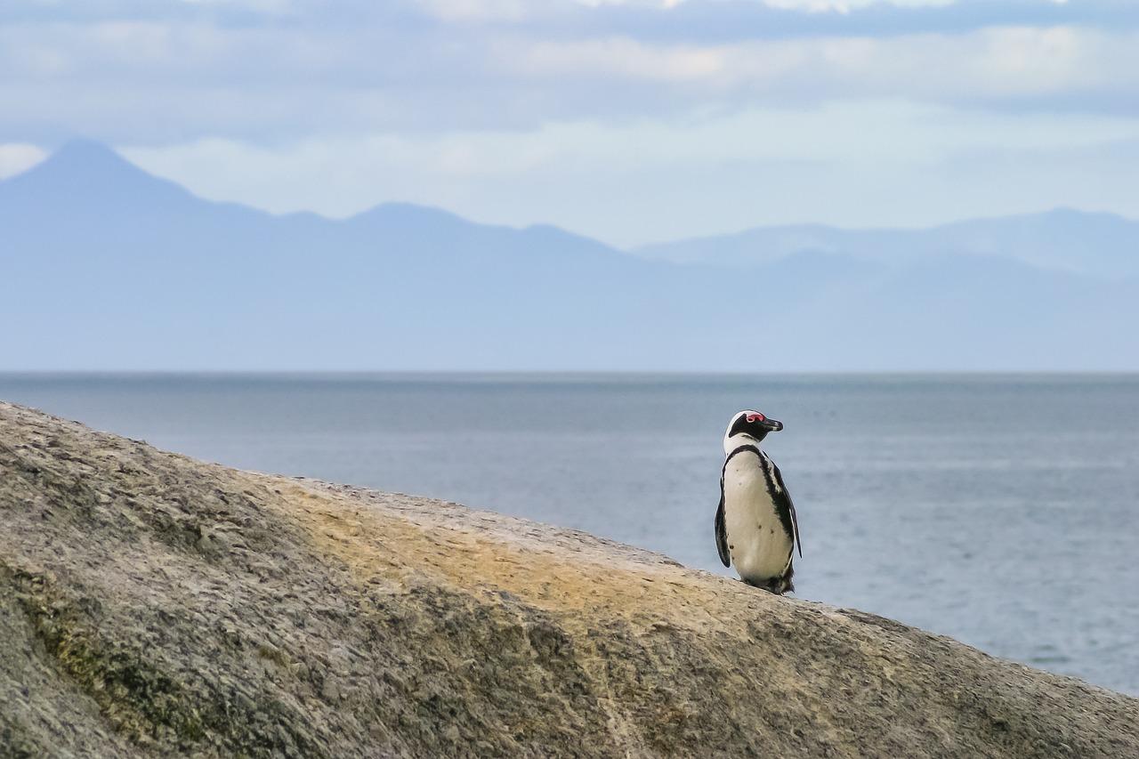 El 2020 sigue sorprendiendo ¿Pingüinos en la península de Paraguaná? (video) 4