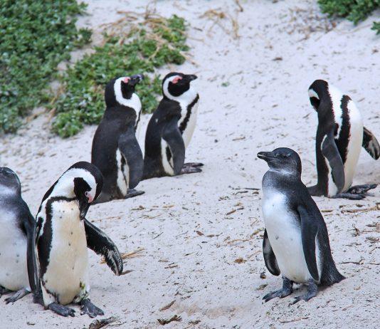 pingüinos, Paraguaná, Bolders Beach