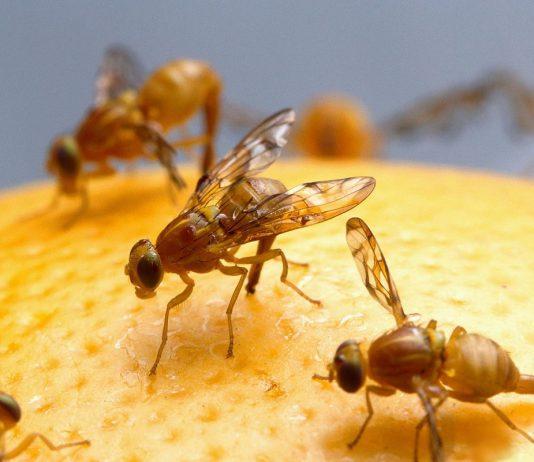 moscas fruta
